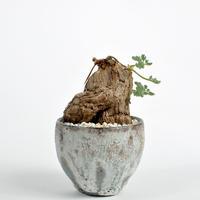 Pelargonium triste × Tomoharu Nakagawa植木鉢