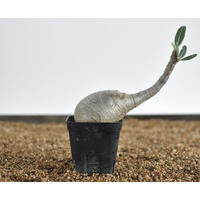 Pachypodium rosulatum var. gracilius  no.02040910〈幹幅5.8cm〉