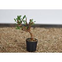 Othonna sedifolia no.0302171
