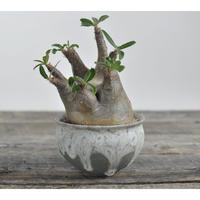 Pachypodium rosulatum var. gracilius 〈幹幅11.5cm〉  × Tomoharu Nakagawa植木鉢  no.0204297