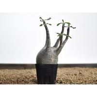Pachypodium rosulatum var. gracilius〈幹幅8.9cm〉