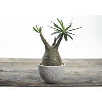 Pachypodium rosulatum var. gracilius × Tomoharu Nakagawa植木鉢〈幹幅8.2cm〉