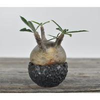 Pachypodium rosulatum var. gracilius 〈幹幅10.0cm〉  × Tomoharu Nakagawa植木鉢 no.0205046