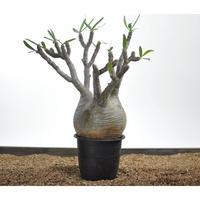 Pachypodium rosulatum var. gracilius 〈幹幅14.7cm〉