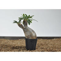 Pachypodium rosulatum var. gracilius 〈幹幅6.6cm〉 no.0205083