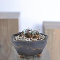 Avonia quinaria