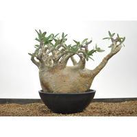 Pachypodium rosulatum var. gracilius 〈幹幅22.0cm〉