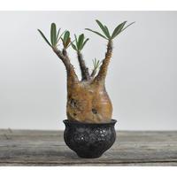 Pachypodium rosulatum var. gracilius 〈幹幅9.2cm〉  × Tomoharu Nakagawa植木鉢 no.0204224