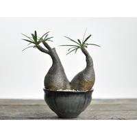Pachypodium rosulatum var. gracilius × Tomoharu Nakagawa植木鉢〈幹幅12.2cm〉