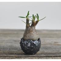 Pachypodium rosulatum var. gracilius 〈幹幅5.7cm〉  × Tomoharu Nakagawa植木鉢 no.0204221