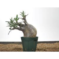 Pachypodium rosulatum var. gracilius 〈幹幅10.2cm〉