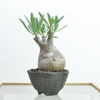Pachypodium rosulatum var.gracilius no.2