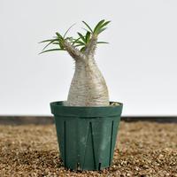 Pachypodium rosulatum var. gracilius  no.0204095〈幹幅5.7cm〉