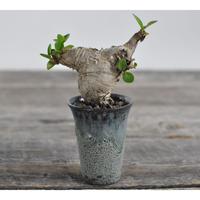 Euphorbia itremensis × Tomoharu Nakagawa植木鉢  no.0204291