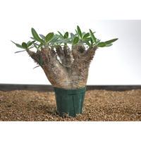 Pachypodium rosulatum var.horombense 〈幹幅10.0cm〉