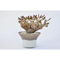 Euphorbia crispa × Tomoharu Nakagawa植木鉢