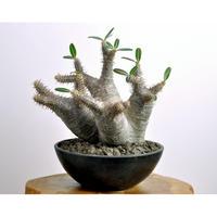 Pachypodium rosulatum var. cactipes   3102282