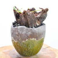 Pelargonium triste no.2