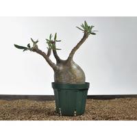 Pachypodium rosulatum var. gracilius 〈幹幅12.5cm〉 no.02050810