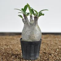 Pachypodium rosulatum var. gracilius  no.02040137〈幹幅6.4cm〉