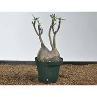 Pachypodium rosulatum var. gracilius 〈幹幅12.6cm〉 no.02050811