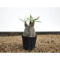 Pachypodium rosulatum var. gracilius〈幹幅6.0cm〉