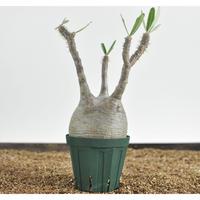 Pachypodium rosulatum var. gracilius  no.0204092〈幹幅10.4cm〉