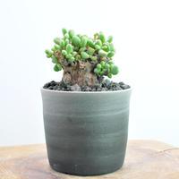 Ceraria pygmaea no.1