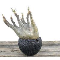 Pachypodium rosulatum var. gracilius〈幹幅12.0cm〉 × Tomoharu Nakagawa植木鉢 no.0203216