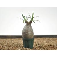 Pachypodium rosulatum var. gracilius 〈幹幅5.8cm〉