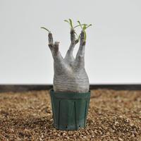 Pachypodium rosulatum var. gracilius  no.02040139〈幹幅6.1cm〉