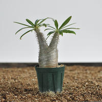 Pachypodium rosulatum var. gracilius  no.02040138〈幹幅4.5cm〉