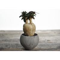 Euphorbia subapoda × Tomoharu Nakagawa植木鉢
