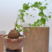 Dioscorea Elephantipes 亀甲竜 3010122