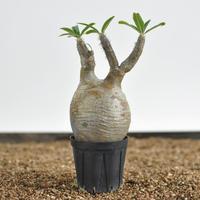 Pachypodium rosulatum var. gracilius  no.02040136〈幹幅7.4cm〉