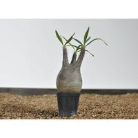 Pachypodium rosulatum var. gracilius 〈幹幅6.5cm〉 no.0205082