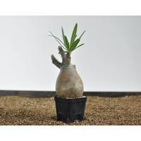 Pachypodium rosulatum var. gracilius 〈幹幅7.9cm〉 no.0205088
