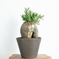 Pachypodium bispinosum no1. 2018.01.27