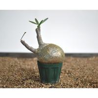 Pachypodium rosulatum var. gracilius 〈幹幅9.4cm〉