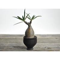 Pachypodium rosulatum var. gracilius × Tomoharu Nakagawa植木鉢〈幹幅5.4cm〉