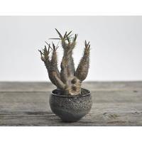 Pachypodium rosulatum var. gracilius × Tomoharu Nakagawa植木鉢〈幹幅5.5cm〉