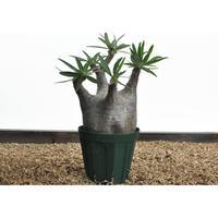 Pachypodium rosulatum var. gracilius〈幹幅10.5cm〉