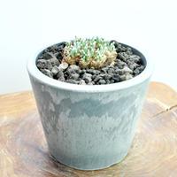 Avonia quinaria ssp.alstonii no.1