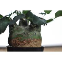 Adenia spinosa No.0209171