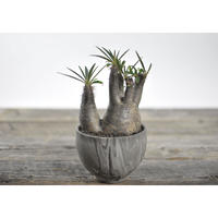 Pachypodium rosulatum var. gracilius × Tomoharu Nakagawa植木鉢〈幹幅9.7cm〉