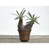 Pachypodium rosulatum var. gracilius × Tomoharu Nakagawa植木鉢〈幹幅8.9cm〉