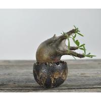 Pachypodium rosulatum var. gracilius 〈幹幅8.5cm〉  × Tomoharu Nakagawa植木鉢  no.0204293