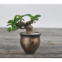 Euphorbia itremensis × Tomoharu Nakagawa植木鉢