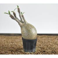 Pachypodium rosulatum var. gracilius  no.0204096〈幹幅7.1cm〉