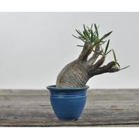 Pachypodium rosulatum var. gracilius 〈幹幅7.0cm〉  × Tomoharu Nakagawa植木鉢 no.0205044